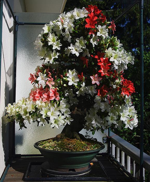 Satsuki de Chantal, en fleurs