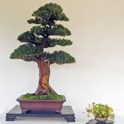 Taxus baccata / if