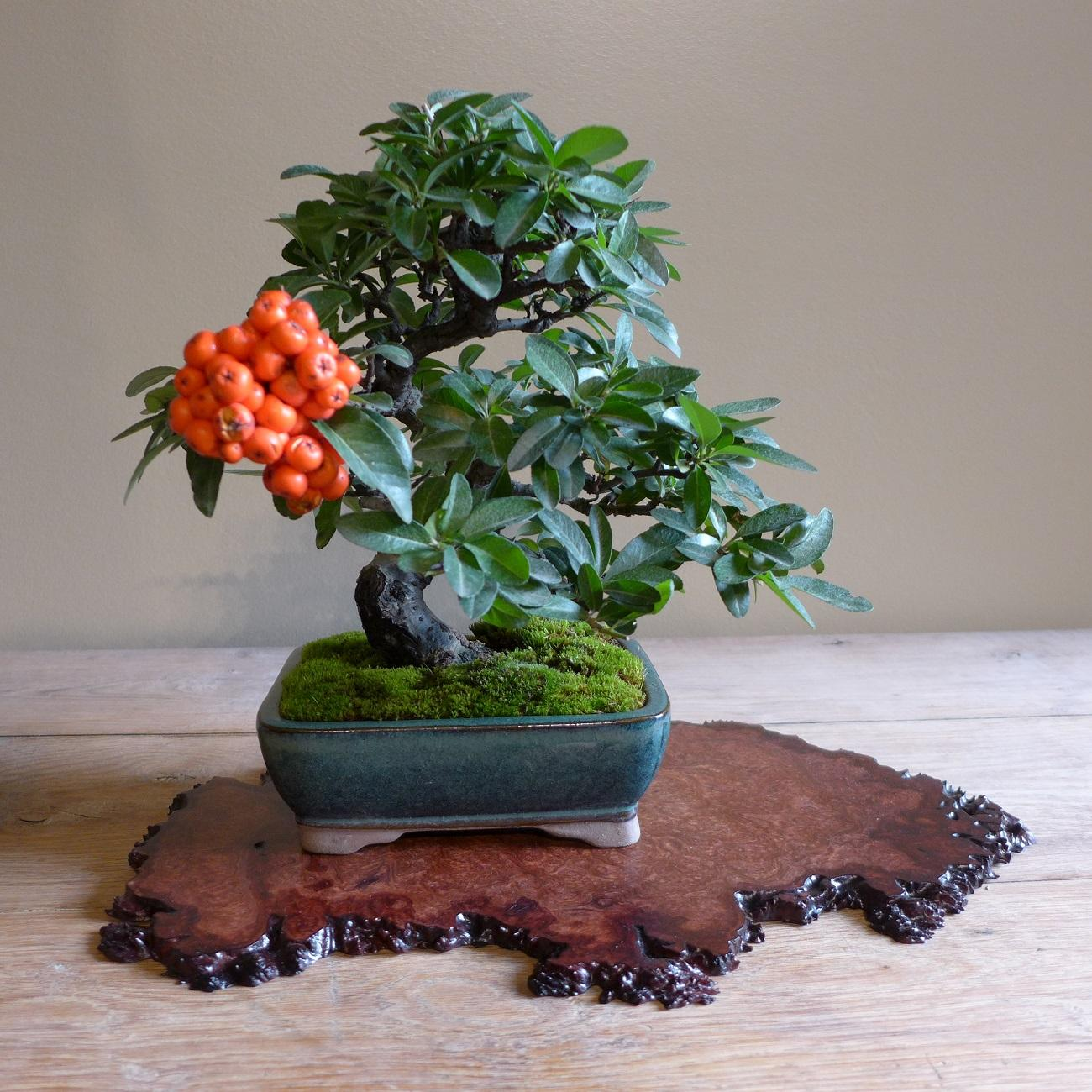 Pyracantha / buisson ardent